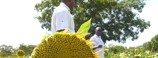 cropped-Clarity1_Sunflower-in-Burkina.jpg